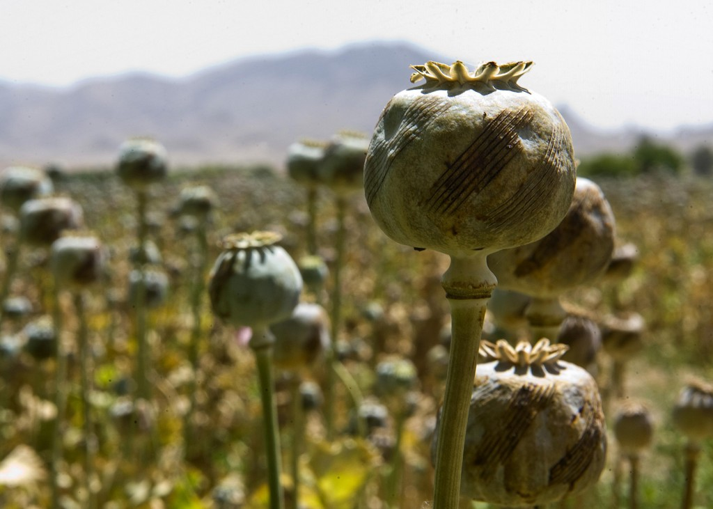 opium fields 13 1024x731 U.S. Troops Patrolling Poppy Fields In Afghanistan (Photos)