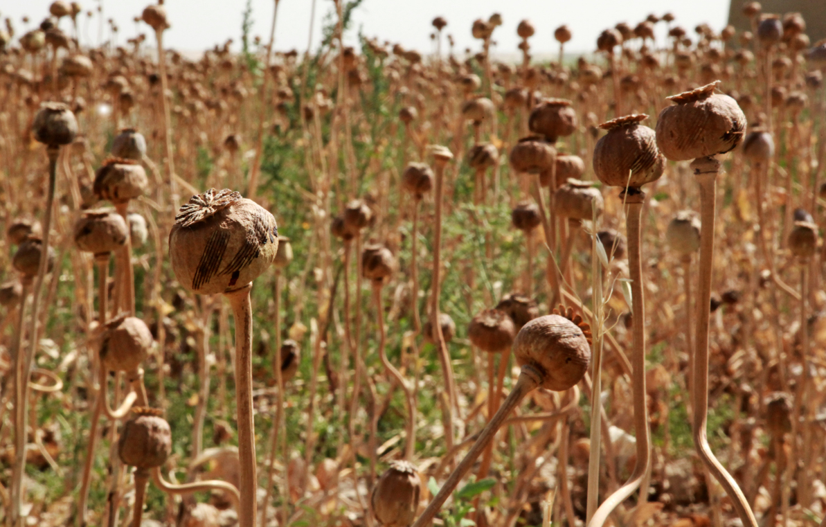 U.S. Occupation Leads to All Time High Afghan Opium Production opium fields1