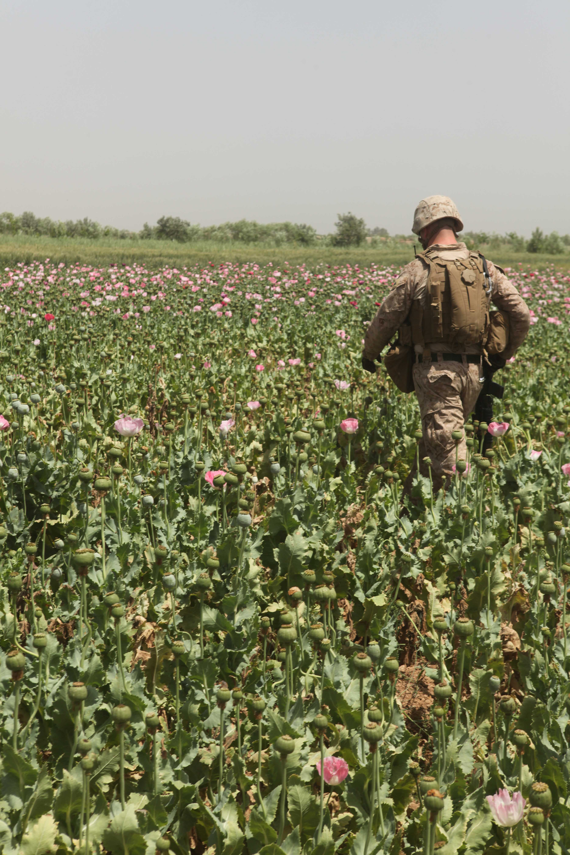 opium fields3 U.S. Troops Patrolling Poppy Fields In Afghanistan (Photos)