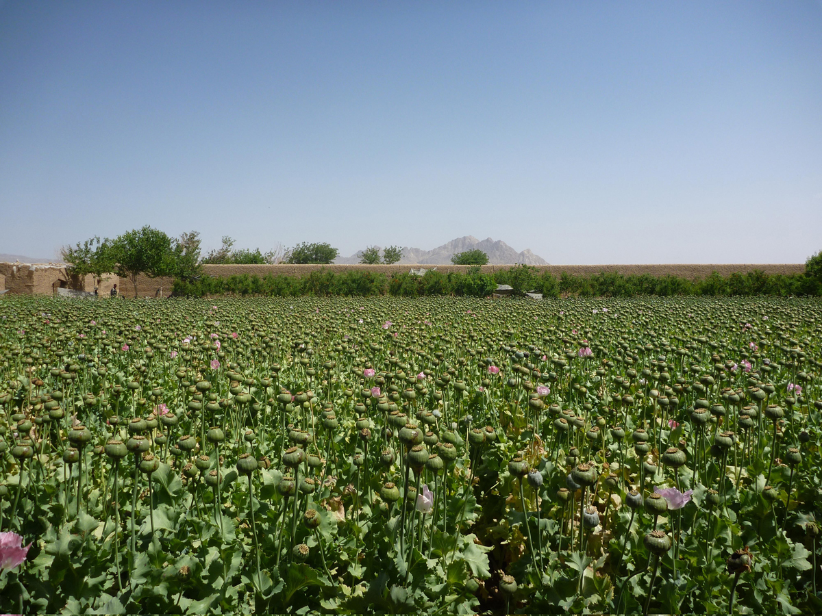 opium fields4 U.S. Troops Patrolling Poppy Fields In Afghanistan (Photos)