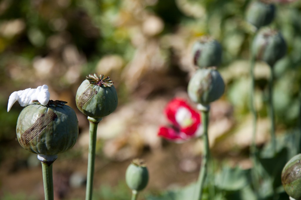 opium fields 11 1024x682 U.S. Troops Patrolling Poppy Fields In Afghanistan (Photos)