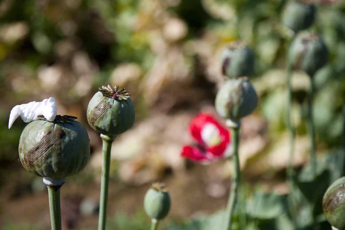 Pics: US Troops Are Protecting Afghan Opium. U.S ... Opium Drug Plant