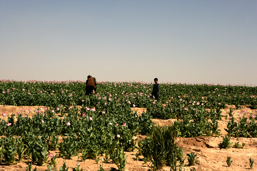 U.S. Occupation Leads to All Time High Afghan Opium Production opium fields 16