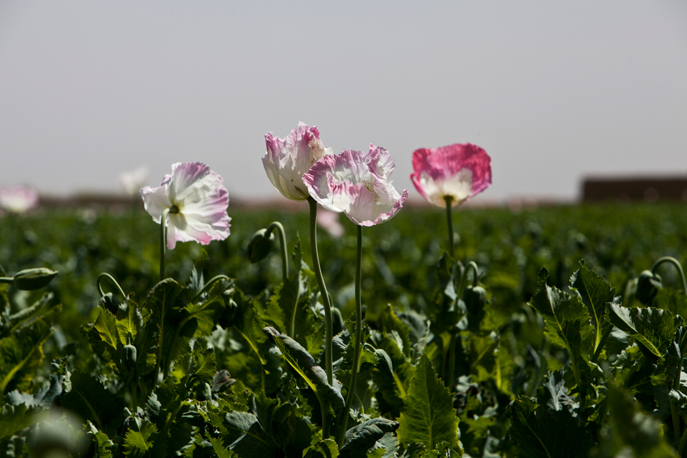 opium fields 3 U.S. Troops Patrolling Poppy Fields In Afghanistan (Photos)
